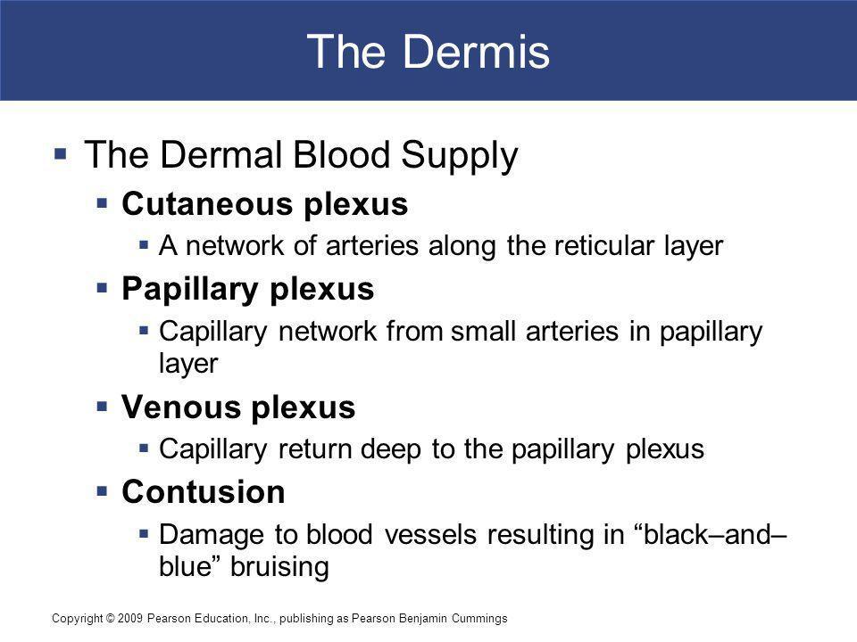 The Dermis The Dermal Blood Supply Cutaneous plexus Papillary plexus