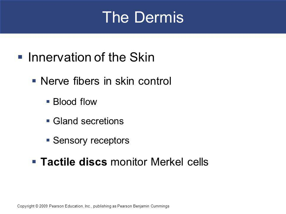 The Dermis Innervation of the Skin Nerve fibers in skin control