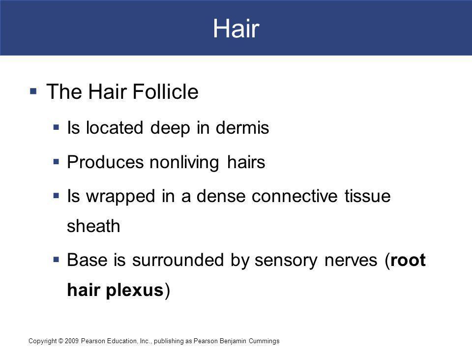 Hair The Hair Follicle Is located deep in dermis