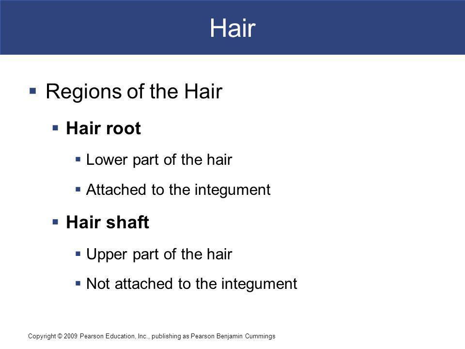 Hair Regions of the Hair Hair root Hair shaft Lower part of the hair