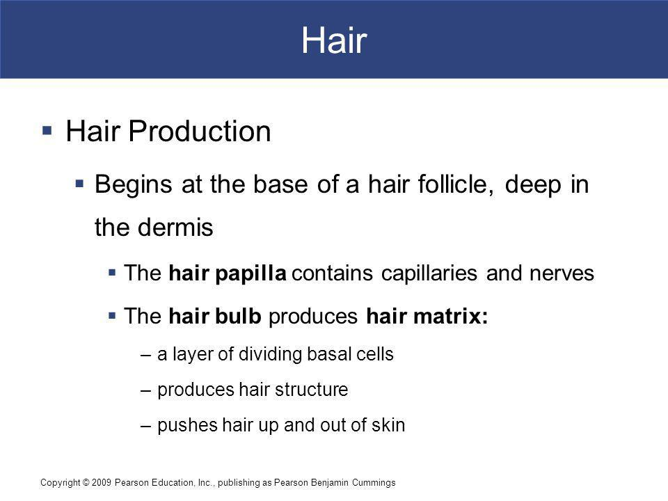 Hair Hair Production. Begins at the base of a hair follicle, deep in the dermis. The hair papilla contains capillaries and nerves.