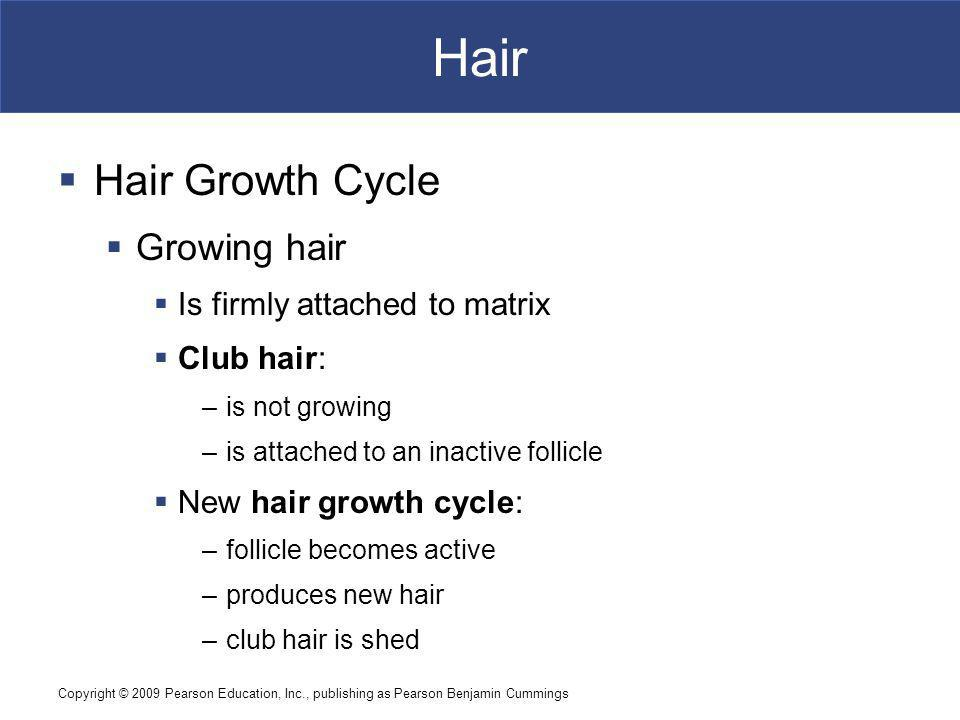 Hair Hair Growth Cycle Growing hair Is firmly attached to matrix