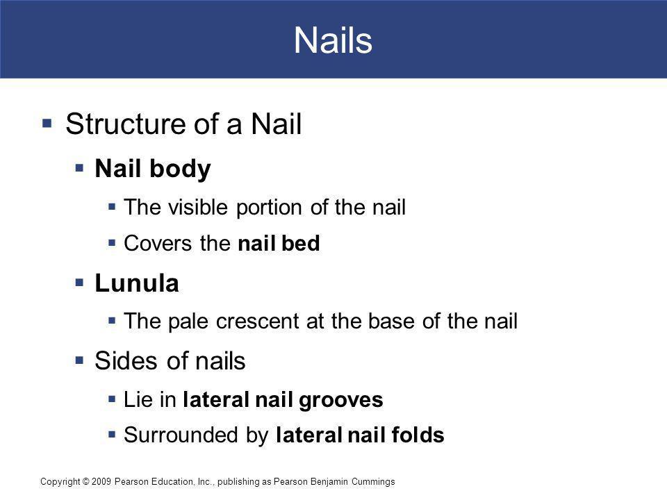 Nails Structure of a Nail Nail body Lunula Sides of nails