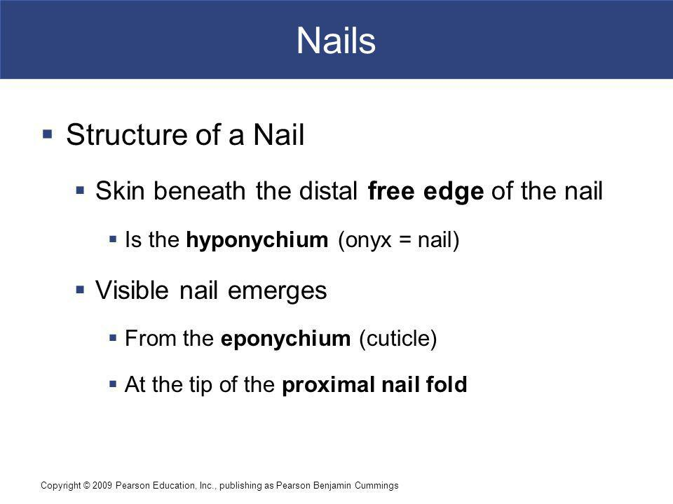 Nails Structure of a Nail
