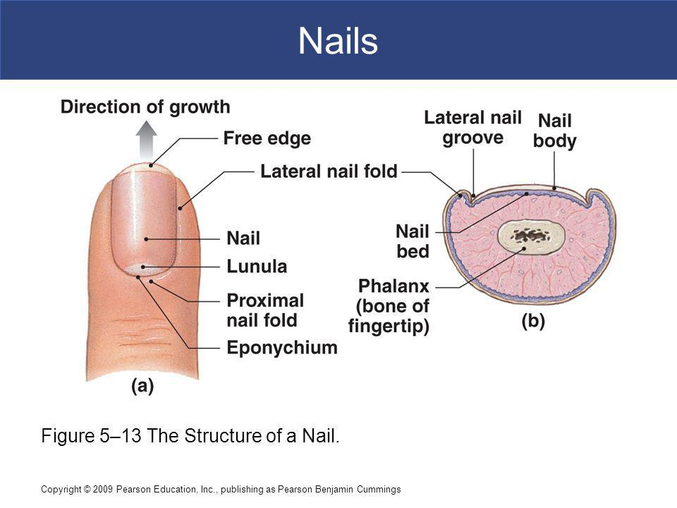 Nails Figure 5–13 The Structure of a Nail.