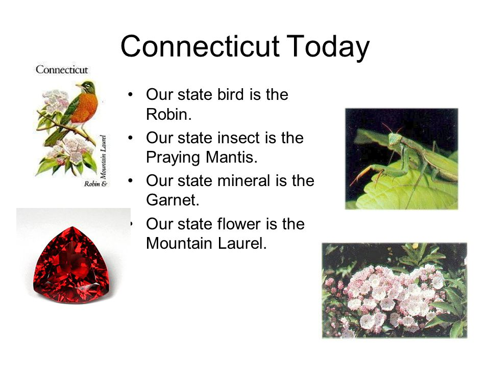 Connecticut Today Our state bird is the Robin.