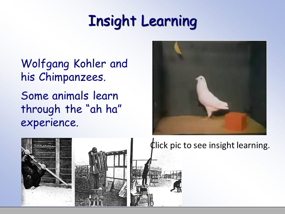 Insight Learning Wolfgang Kohler and his Chimpanzees. Some animals learn through the ah ha experience.