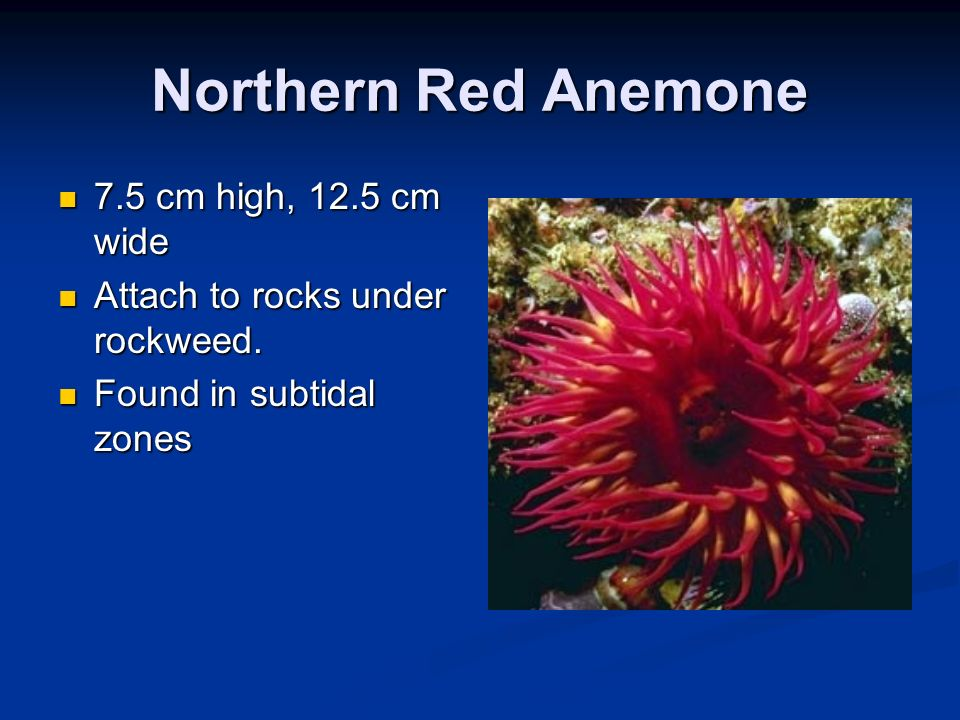 Northern Red Anemone 7.5 cm high, 12.5 cm wide