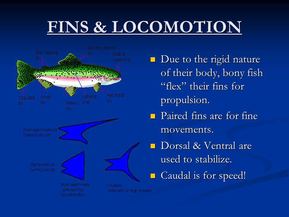 FINS & LOCOMOTION Due to the rigid nature of their body, bony fish flex their fins for propulsion.
