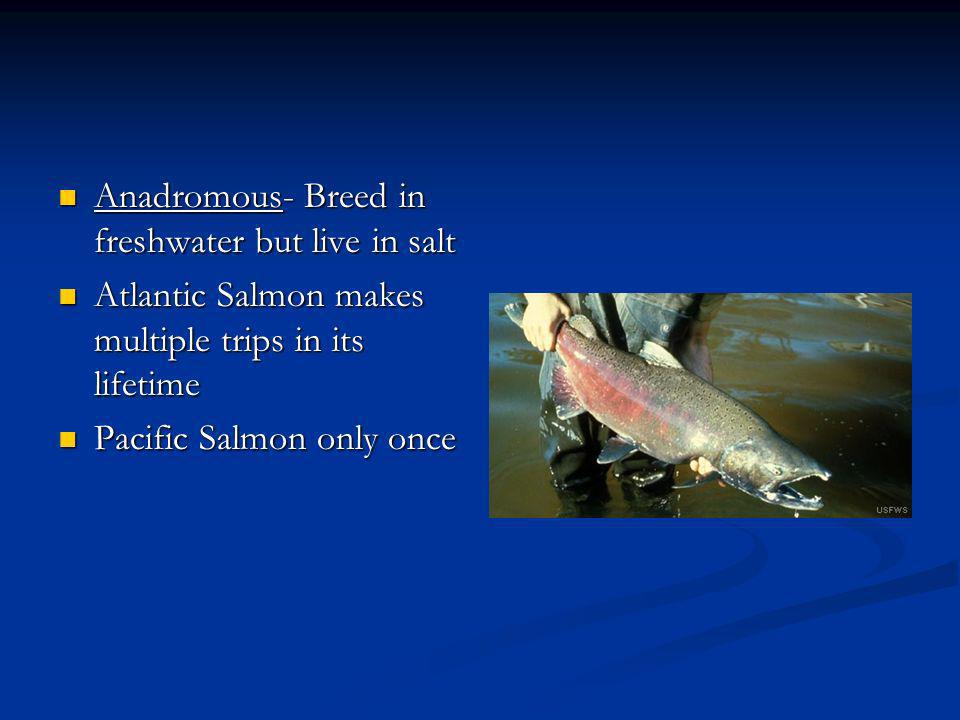 Anadromous- Breed in freshwater but live in salt