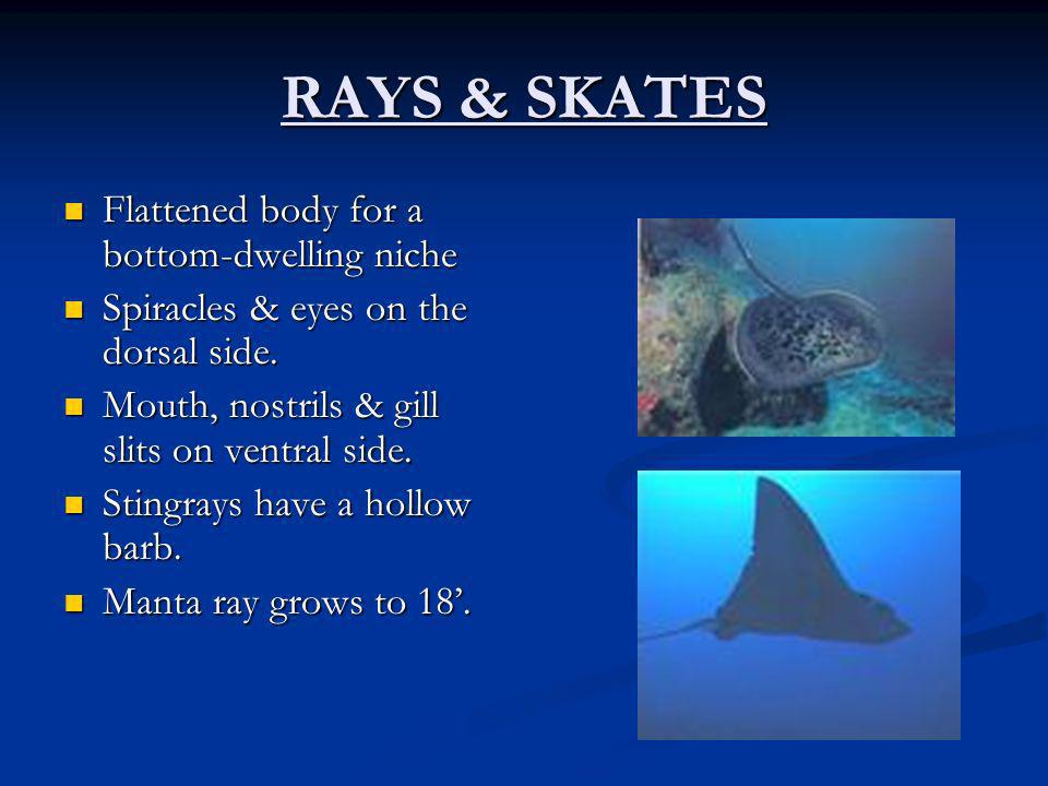 RAYS & SKATES Flattened body for a bottom-dwelling niche