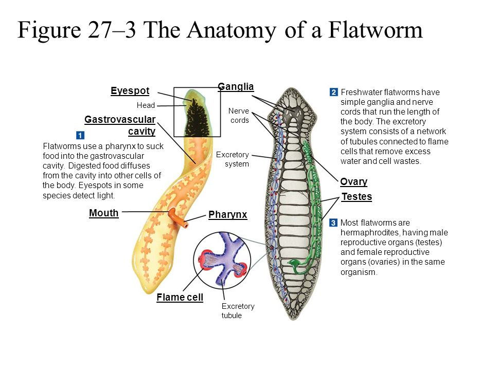Figure 27–3 The Anatomy of a Flatworm