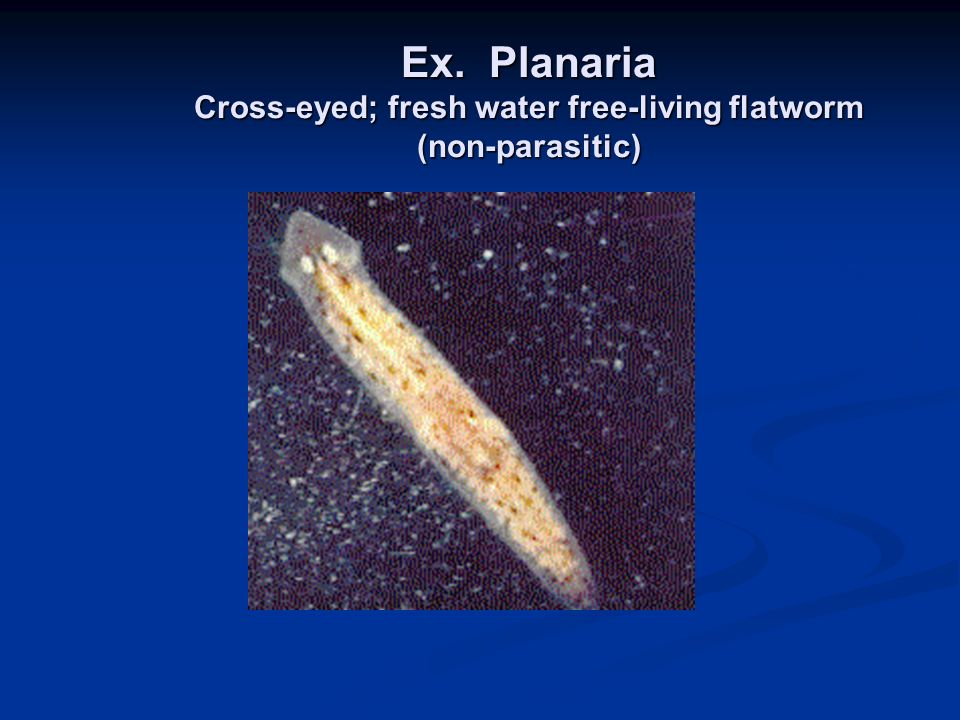 Ex. Planaria Cross-eyed; fresh water free-living flatworm (non-parasitic)