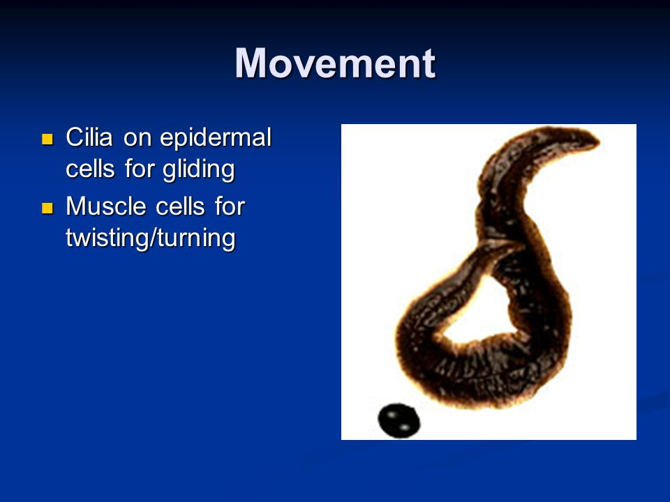 Movement Cilia on epidermal cells for gliding