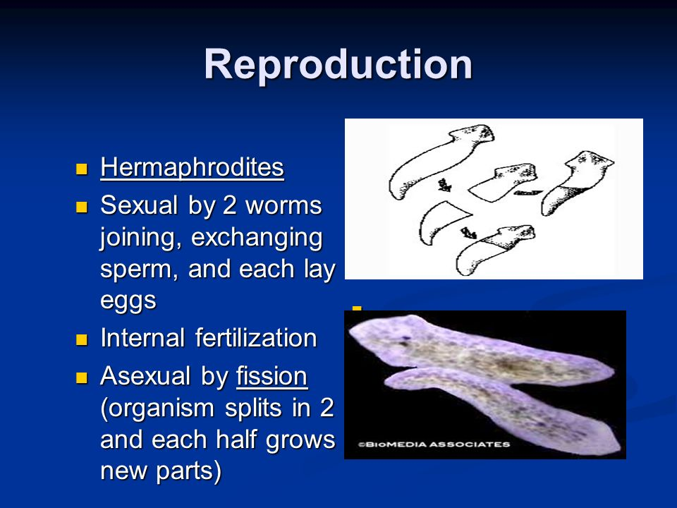 Reproduction Hermaphrodites
