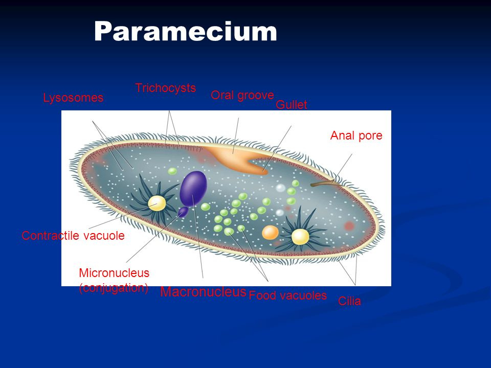 Paramecium Macronucleus Trichocysts Oral groove Lysosomes Gullet