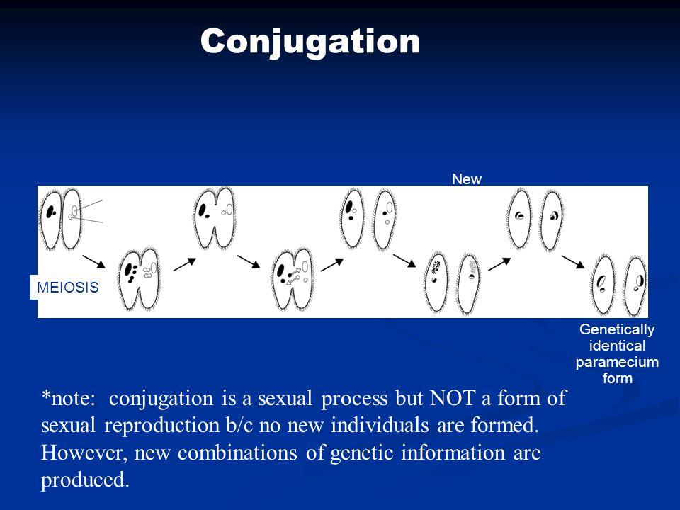 Conjugation New macronuclei form. Macronucleus. Micronucleus. MEIOSIS. Exchange of micronuclei.