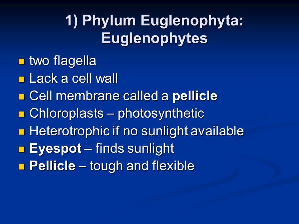 1) Phylum Euglenophyta: Euglenophytes
