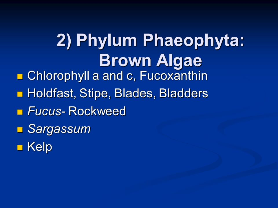 2) Phylum Phaeophyta: Brown Algae