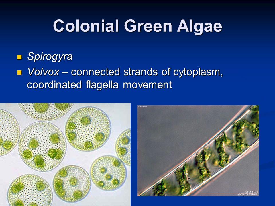 Colonial Green Algae Spirogyra