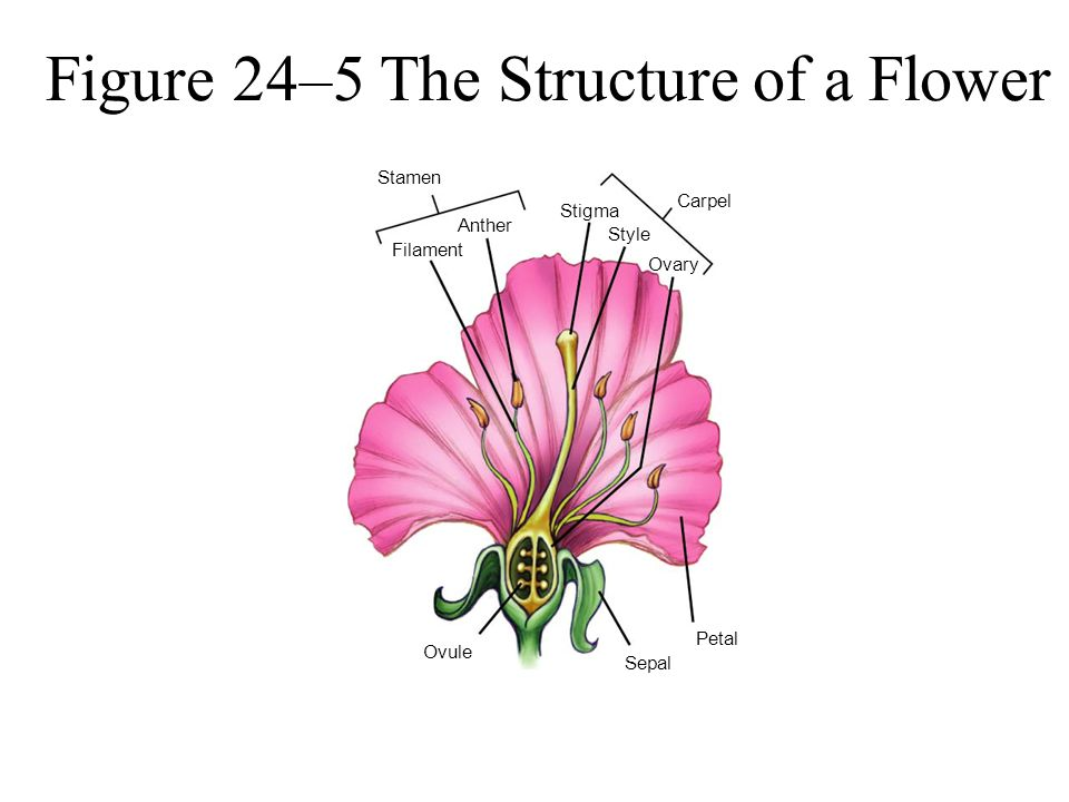 Figure 24–5 The Structure of a Flower
