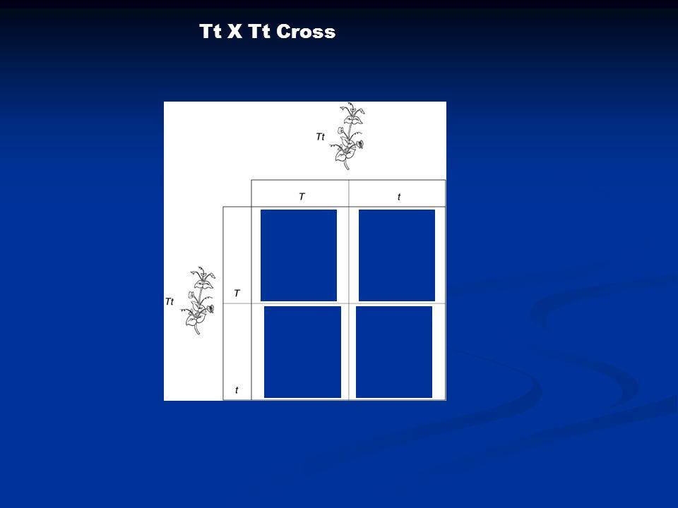 Tt X Tt Cross