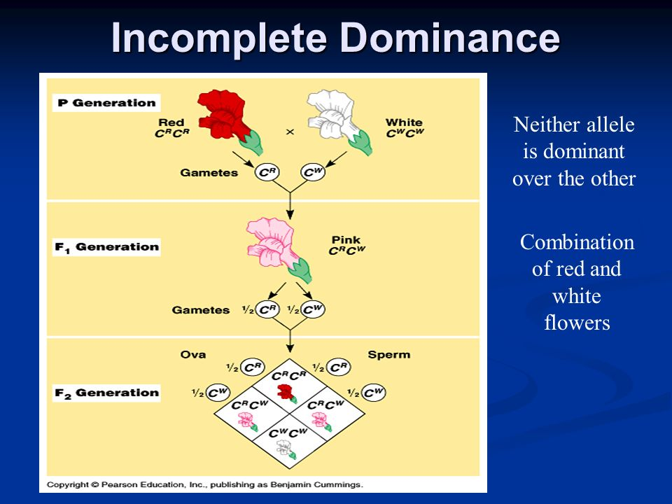 Incomplete Dominance Neither allele is dominant over the other
