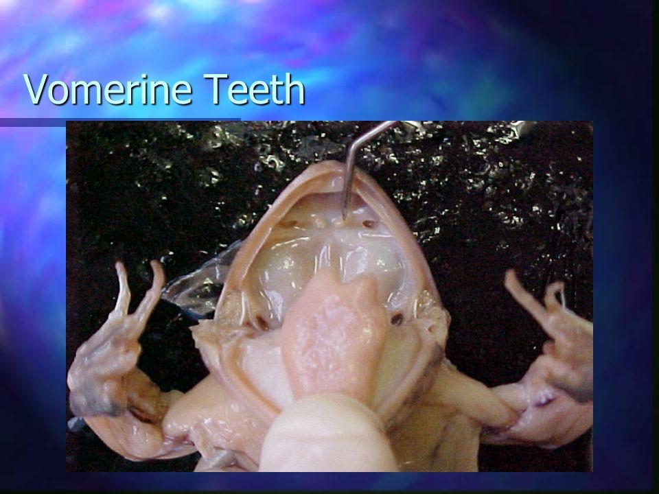 Vomerine Teeth
