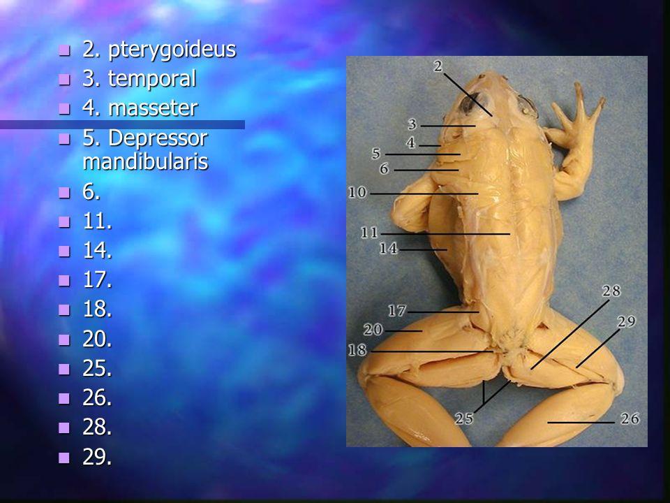 2. pterygoideus 3. temporal. 4. masseter. 5. Depressor mandibularis. 6. 11. 14. 17. 18. 20.