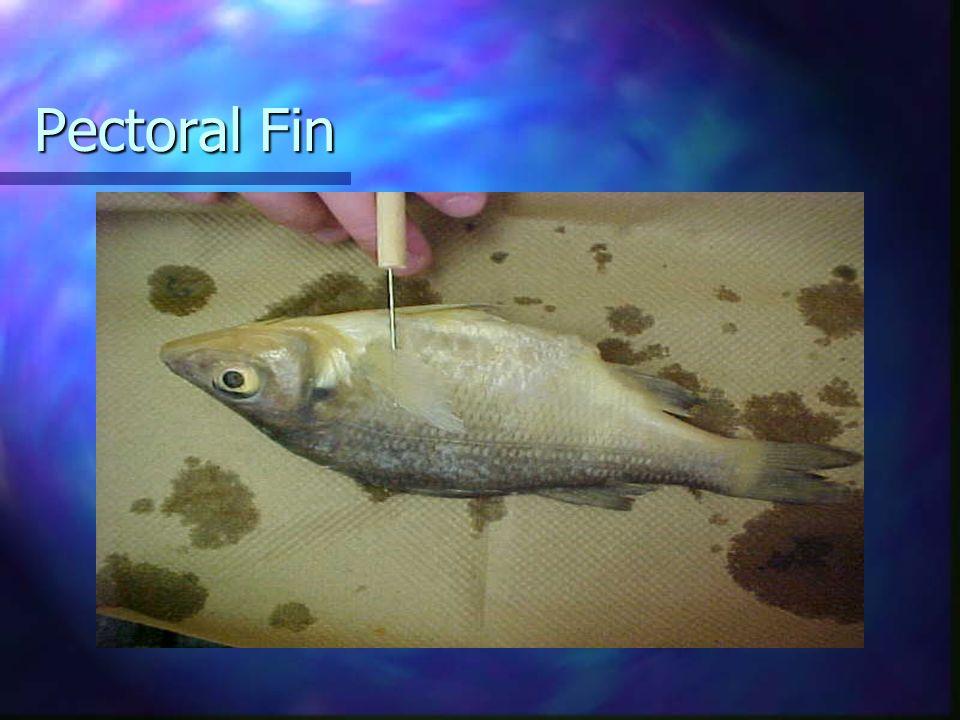 Pectoral Fin