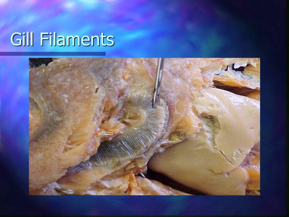 Gill Filaments