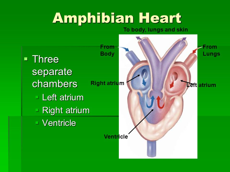 Amphibian Heart Three separate chambers Left atrium Right atrium