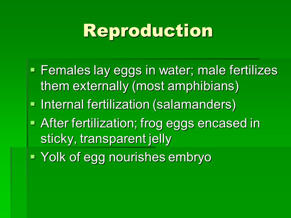Reproduction Females lay eggs in water; male fertilizes them externally (most amphibians) Internal fertilization (salamanders)