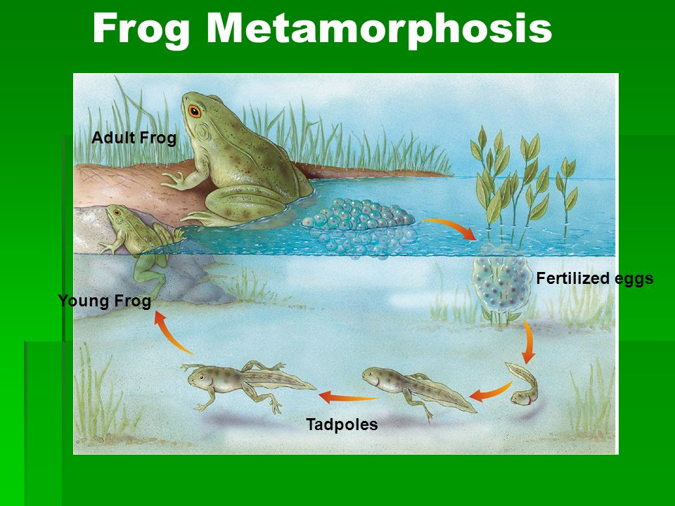 Frog Metamorphosis Adult Frog Fertilized eggs Young Frog Tadpoles