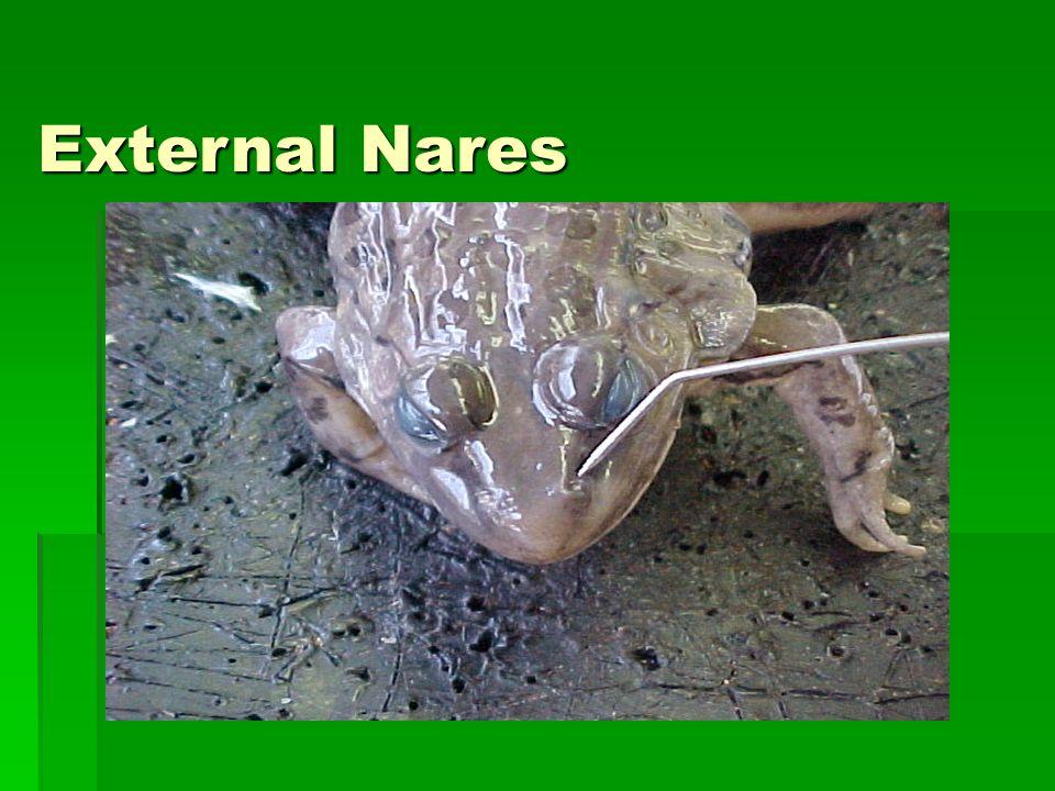 amphibians ppt download