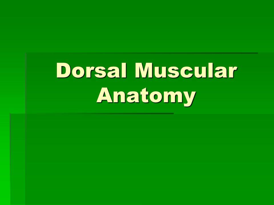 Dorsal Muscular Anatomy