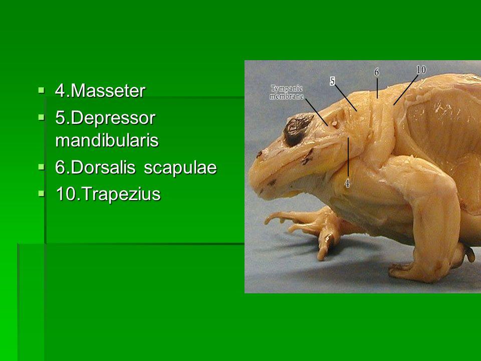 4.Masseter 5.Depressor mandibularis 6.Dorsalis scapulae 10.Trapezius