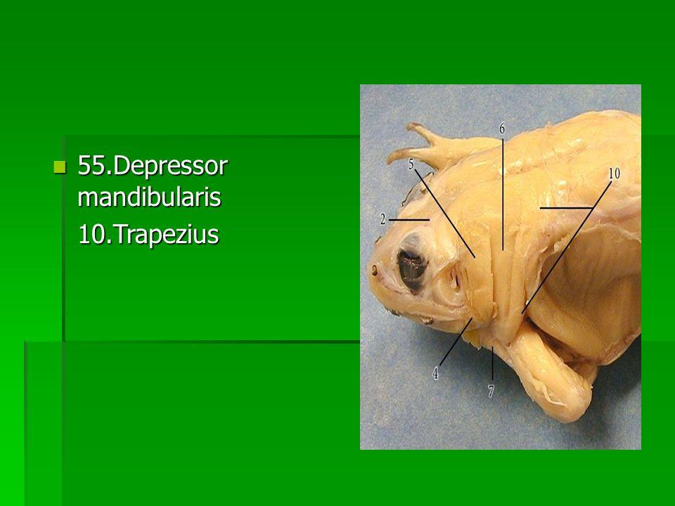 55.Depressor mandibularis