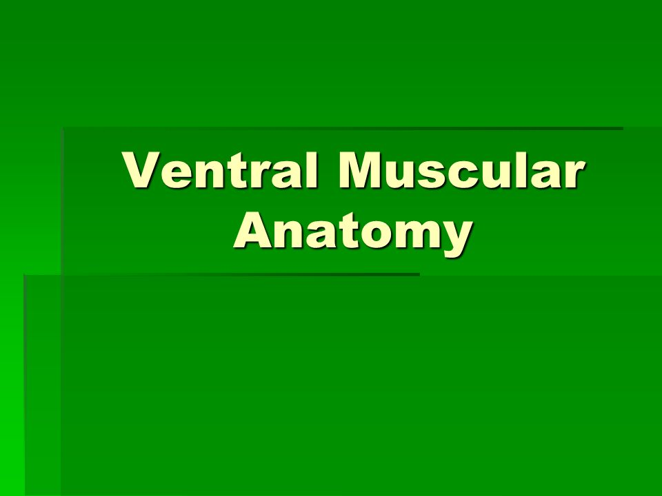 Ventral Muscular Anatomy