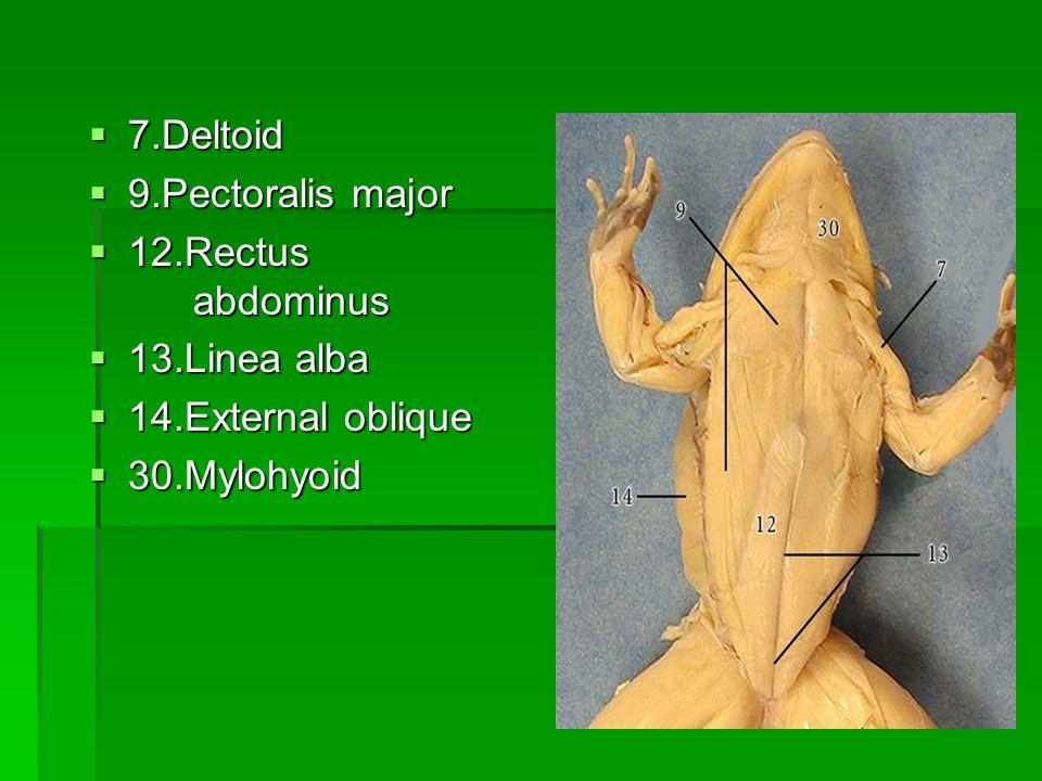 7.Deltoid 9.Pectoralis major 12.Rectus abdominus 13.Linea alba 14.External oblique 30.Mylohyoid