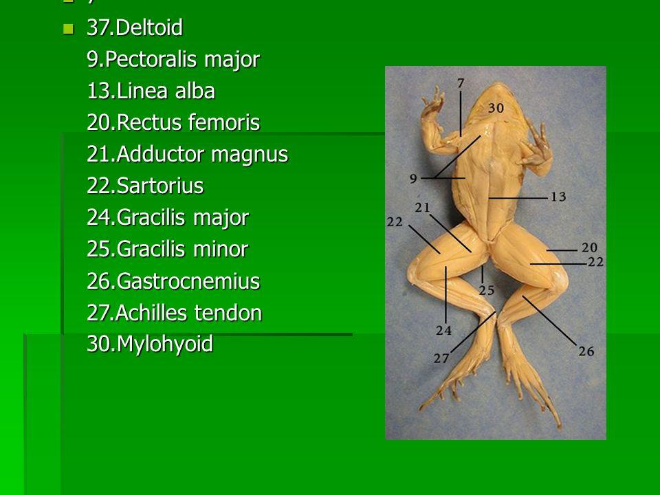 7 37.Deltoid. 9.Pectoralis major. 13.Linea alba. 20.Rectus femoris. 21.Adductor magnus. 22.Sartorius.