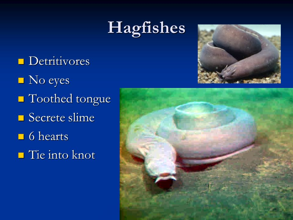 Hagfishes Detritivores No eyes Toothed tongue Secrete slime 6 hearts