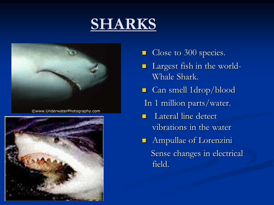 SHARKS Close to 300 species. Largest fish in the world-Whale Shark.