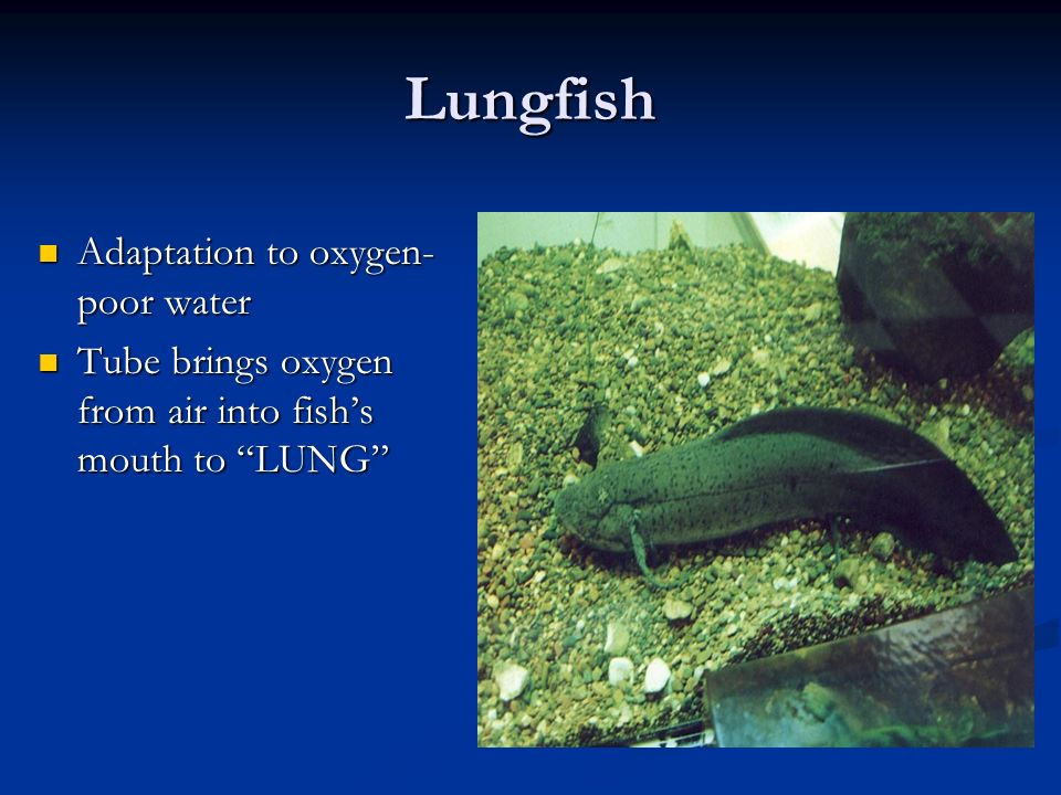 Lungfish Adaptation to oxygen-poor water