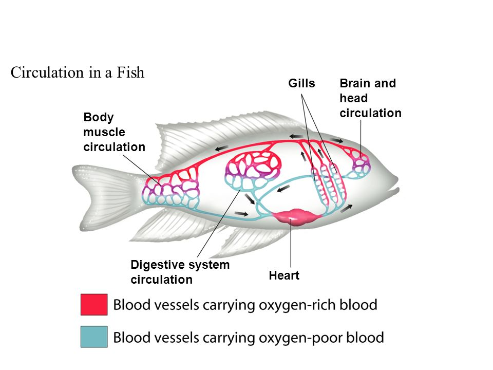 Circulation in a Fish Gills Brain and head circulation