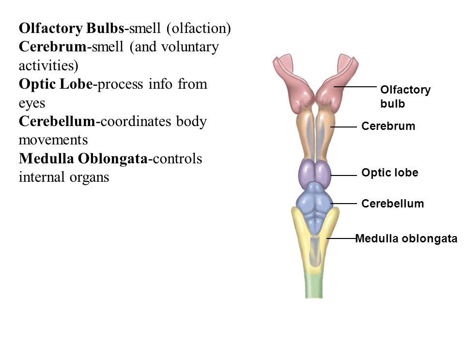 Olfactory Bulbs-smell (olfaction)