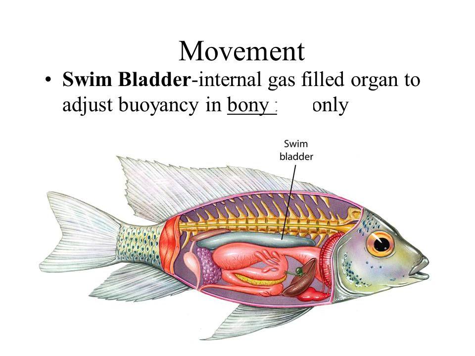 Movement Swim Bladder-internal gas filled organ to adjust buoyancy in bony fish only