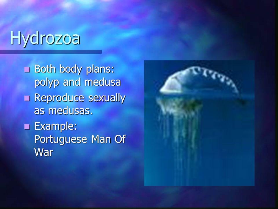 Hydrozoa Both body plans: polyp and medusa