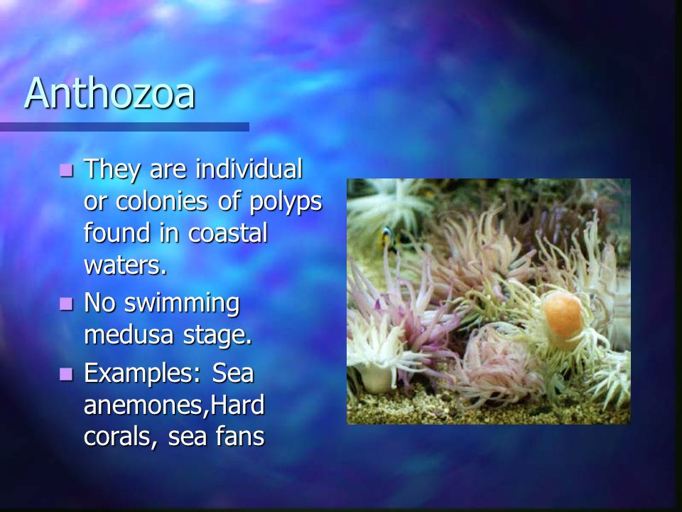 Anthozoa They are individual or colonies of polyps found in coastal waters. No swimming medusa stage.