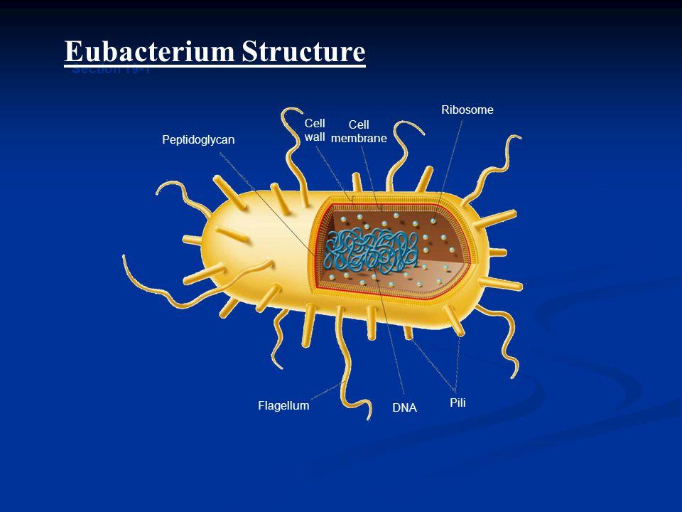 Eubacterium Structure